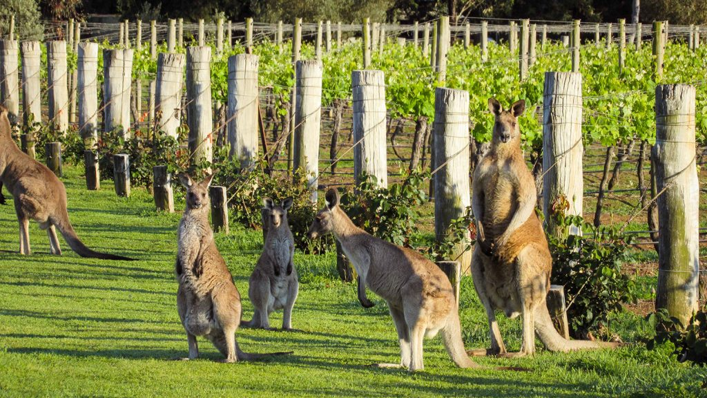 kangaroos in hunter valley vineyards